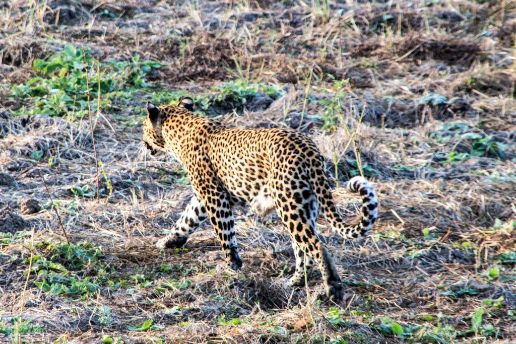 Rather exceptional to spot here: the leopard