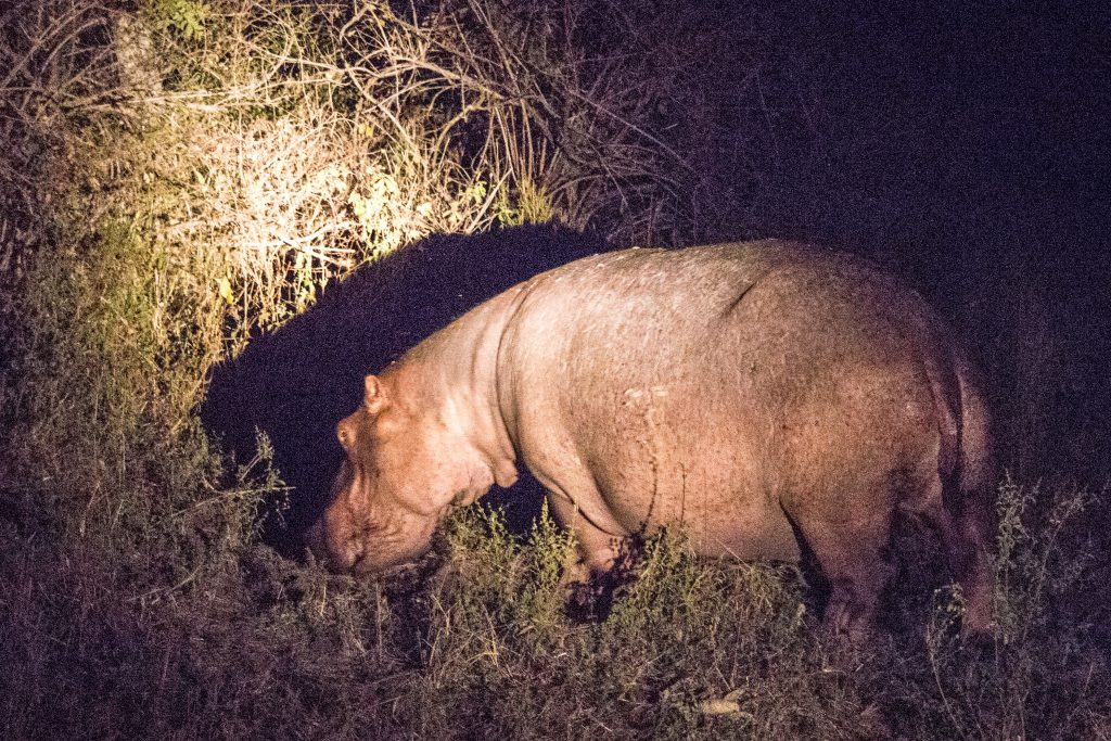 Just outside the tent, a peacefully grazing hippo at night