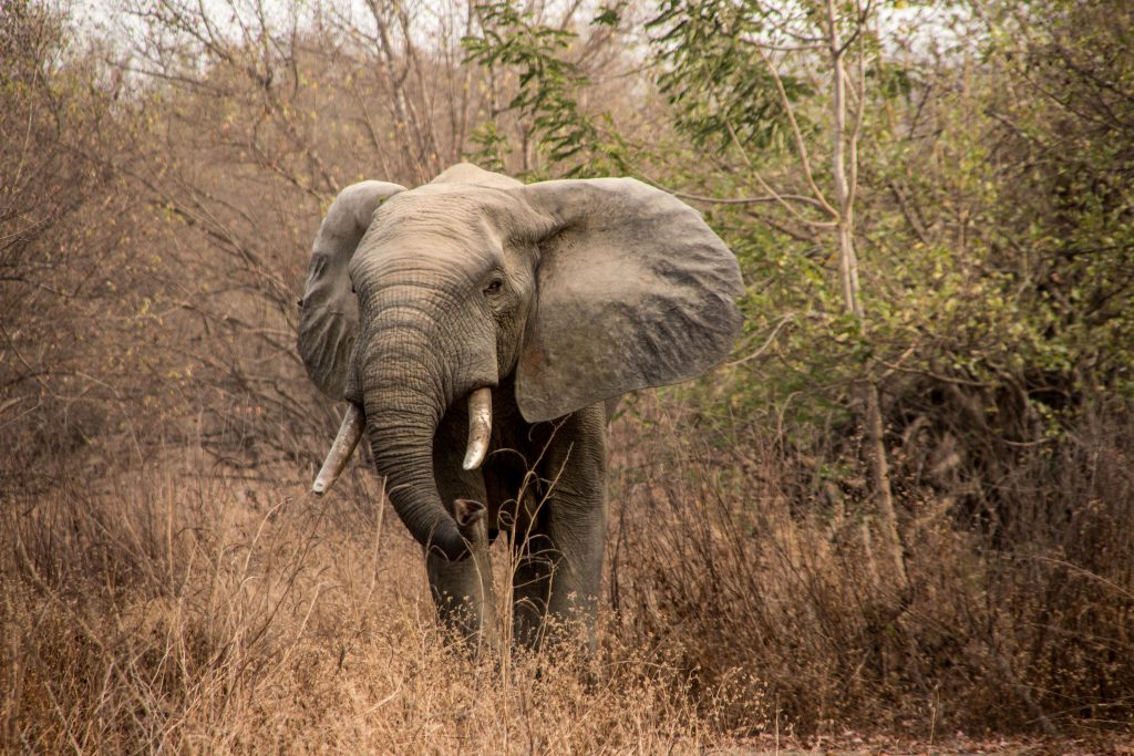 Elelphants in Mole National Park