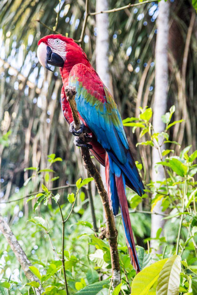 Colourful parrots in the Amazon rainforest