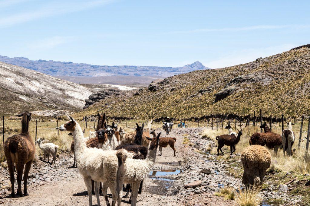 No people here, just llamas